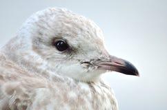 美丽的海鸥 免版税库存图片