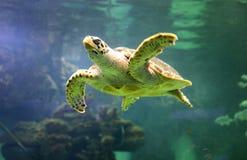 美丽的海龟特写镜头在oceanarium的一个水族馆的游泳 库存照片