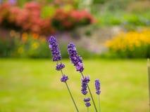 美丽的淡紫色在庭院里开花反对被弄脏的背景 库存照片