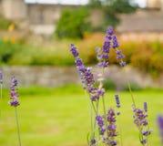 美丽的淡紫色在庭院里开花反对被弄脏的背景 免版税图库摄影