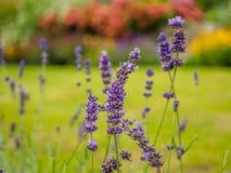美丽的淡紫色在庭院里开花反对被弄脏的背景 免版税库存照片