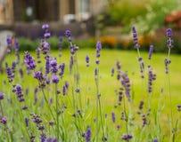 美丽的淡紫色在庭院里开花反对被弄脏的背景 免版税库存图片