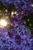 美丽的淡紫色花和太阳 库存照片