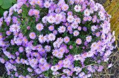 美丽的淡紫色花在夏天公园 免版税库存照片