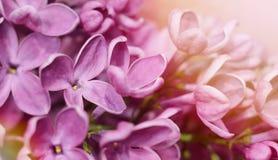 美丽的淡紫色花特写镜头照片  开花紫色弹簧 花卉季节性背景 库存照片
