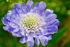 美丽的淡紫色蓝色庭院矢车菊 免版税库存照片
