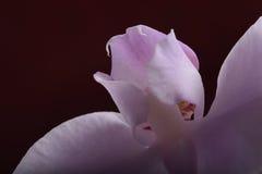 美丽的淡紫色兰花 免版税库存照片