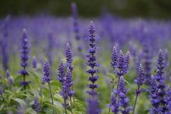 美丽的淡紫色农场在北海道 免版税库存照片