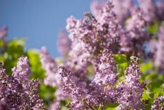 美丽的淡紫色开花 库存照片