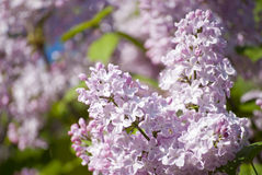 美丽的淡紫色开花 免版税库存图片