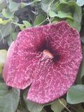 美丽的深桃红色的花 库存图片