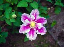 美丽的深桃红色,紫色花铁线莲属在庭院里 库存图片