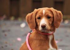 美丽的混杂的品种小狗,棕褐色与白色标号 库存照片