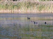 美丽的游泳在湖的老傻瓜和雌红松鸡浮出水面 免版税库存照片
