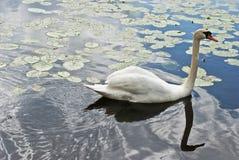 美丽的湖天鹅 免版税库存图片