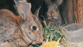 美丽的滑稽的矮小的幼小兔子崽和他们的妈妈吃在一只笼子的草在农场 股票录像