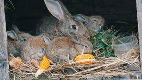 美丽的滑稽的矮小的幼小兔子崽和他们的妈妈吃在一只笼子的草在农场 股票视频