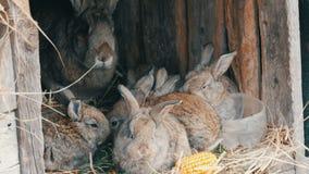 美丽的滑稽的矮小的幼小兔子崽和他们的妈妈吃在一只笼子的草在农场 影视素材