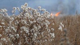 美丽的灌木在与白色蓬松花的干草原区域在反对灼烧的火背景的晚秋天  影视素材