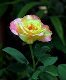 美丽的灌木玫瑰 库存图片