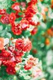 美丽的灌木的特写镜头照片与英国兰开斯特家族族徽的 库存图片