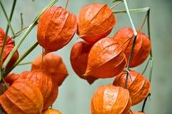 美丽的灯笼果桔子 免版税库存图片