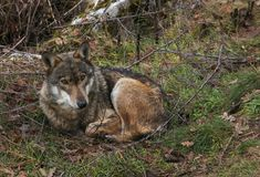 美丽的灰狼坐在木头的,阿布鲁佐画象  免版税库存图片