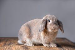 美丽的灰色复活节兔子 免版税库存图片