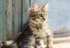 美丽的灰色小猫坐委员会 免版税图库摄影