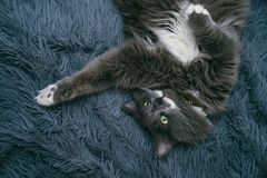 美丽的灰色猫在毯子放松 库存图片