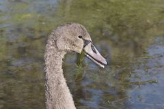 美丽的灰色色的天鹅座olor疣鼻天鹅,Hockerschwan少年游泳在湖在与wat的一温暖和晴朗的秋天天 免版税库存照片