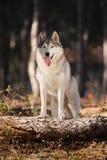 美丽的灰色西伯利亚爱斯基摩人在有他的爪子的秋天森林里站立在一棵下落的树的树干 库存图片