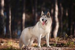 美丽的灰色西伯利亚爱斯基摩人在有h的秋天森林里站立 免版税库存照片