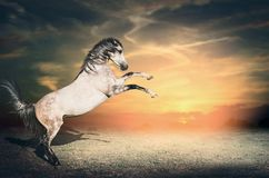 美丽的灰色马公马从在它的两条前面腿的地面首先上升在日落天空 免版税库存照片