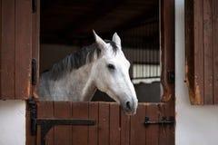 美丽的灰色马 免版税库存照片