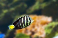 美丽的热带鱼蝴蝶鱼 库存图片