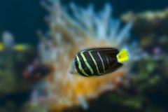 美丽的热带鱼蝴蝶鱼 免版税库存图片