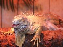 美丽的热带Reptille 免版税库存照片