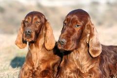 美丽的爱尔兰人的特定装置狗 库存图片