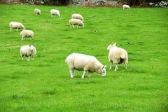 美丽的爱尔兰绵羊,爱尔兰 库存图片