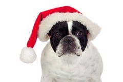 美丽的牛头犬圣诞节法语帽子 免版税库存照片