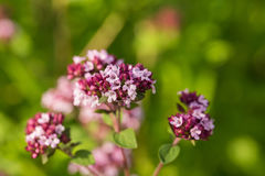 美丽的牛至在庭院里开花准备好茶 肉的好香料 充满活力的夏天庭院 库存照片
