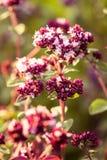 美丽的牛至在庭院里开花准备好茶 肉的好香料 充满活力的夏天庭院 库存图片