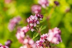 美丽的牛至在庭院里开花准备好茶 肉的好香料 充满活力的夏天庭院 免版税库存图片