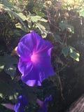 美丽的牵牛花紫色花cinque terre 图库摄影