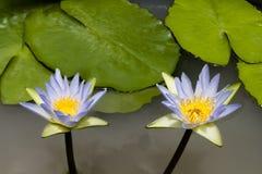 美丽的特写镜头,双重莲花,紫色与黄色花粉 免版税库存照片