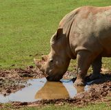 美丽的犀牛饮用水 免版税库存照片