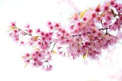 美丽的狂放的喜马拉雅樱桃花 库存照片