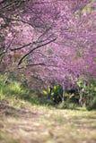 美丽的狂放的喜马拉雅樱桃花 免版税库存图片