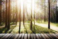美丽的狂放的森林早晨太阳 库存照片